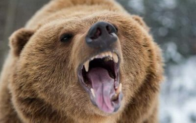 Cow Call Grizzly Attack in 2005, Crossbow and .44 Magnum